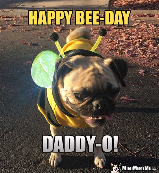 Pug in Bee Costume Says: Happy Bee-Day Daddy-O!