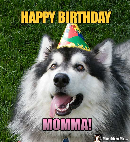 Handsome Malamute Wearing Party Hat Says Happy Birthday Momma