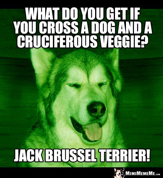 Dog Breed Joke: What do you get if you cross a dog and a cruciferous veggie? Jack Brussel Terrier!