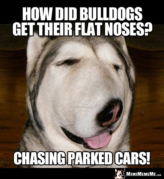 Dog Joke: How did bulldogs get their flat noses? Chasing parked cars!