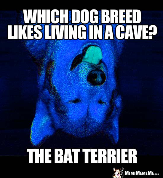 Dog Joke: Which dog breed like living in a cave? The Bat Terrier