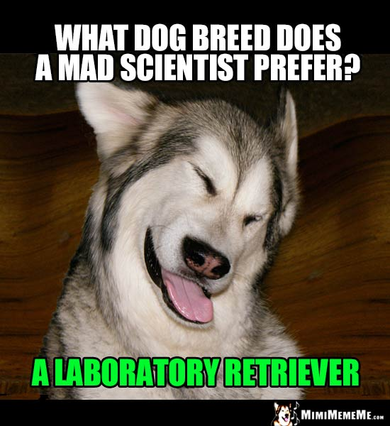 Dog Riddle: What dog breed does a mad scientist prefer? A Laboratory Retriever