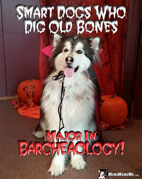 Dog Wearing Dracula Cape Says: Smart dog who did old bones major in Barcheaology!