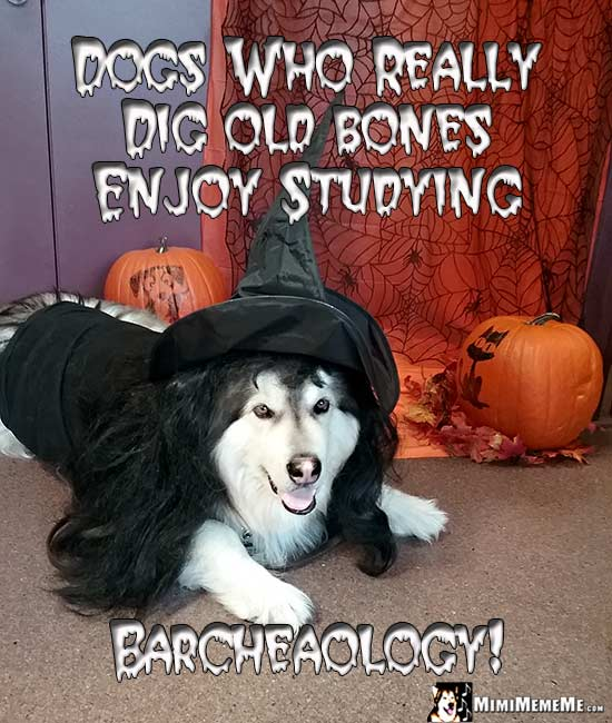 Malamute in Witch Costume Says: Dogs who really dig old bones enjoy studying Barcheaology!