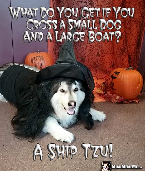 Dog Wearing Witch Costume Asks: What do you get if you cross a small dog and a large boat? A Ship Tzu!