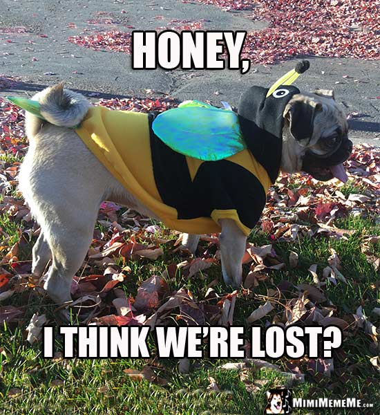 Pug Wearing Bee Costume Says: Honey, I think we're lost?