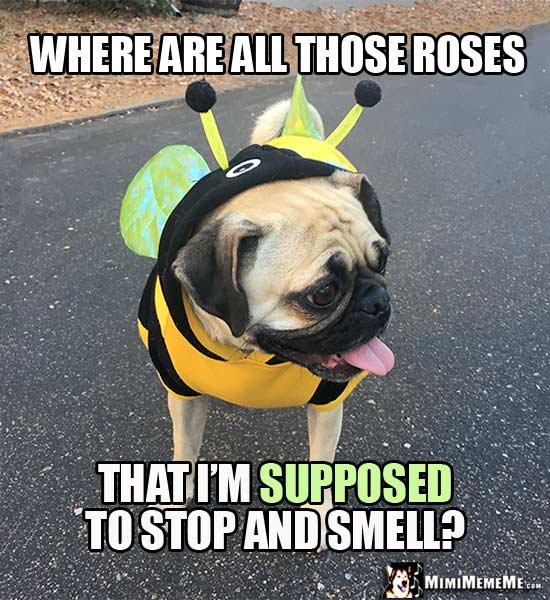 Pug in Bee Costume Asks: Where are all those roses that I'm supposed to stop and smell?